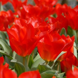 Princeps Lale Soğanı-İthal-10 Adet - Thumbnail