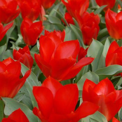 Princeps Lale Soğanı-İthal-10 Adet