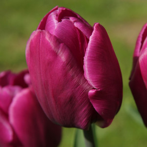 Fidan Burada - Purple Prince Lale Soğanı-İthal-10 Adet