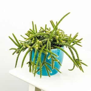 Fidan Burada - Rhipsalis Pilocarpa Mavi Seramik Saksılı Spagetti Kaktüs