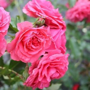 Fidan Burada - Rosarium Aşılı Gül Fidanı- Özel Ürün