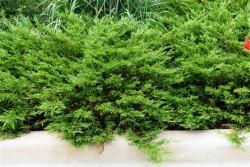 Fidan Burada - SABİN ARDIÇ (Juniperus Sabina)