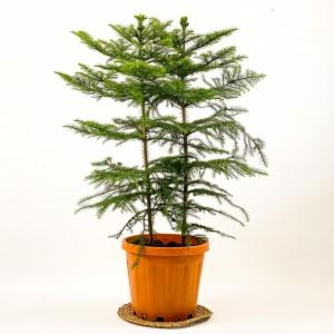 Fidan Burada - SALON ÇAMI-AROKARYA - (Araucaria Heterophylla)-İthal- 2 Gövdeli 100-120