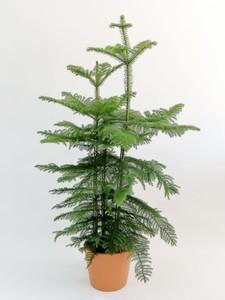 Fidan Burada - SALON ÇAMI-AROKARYA - Hediyeli (Araucaria Heterophylla)-İthal - 3 Gövdeli 150-160 cm