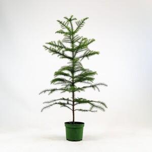 Fidan Burada - SALON ÇAMI-AROKARYA - (Araucaria Heterophylla)-İthal 80-100 Cm