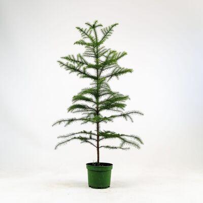 SALON ÇAMI-AROKARYA - (Araucaria Heterophylla)-İthal 80-100 Cm