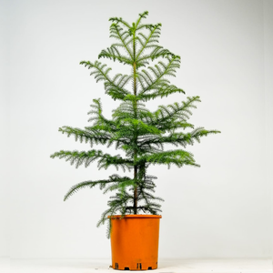 Fidan Burada - SALON ÇAMI-AROKARYA - (Araucaria Heterophylla)-İthal-120-140 Cm