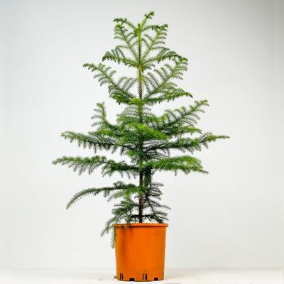 SALON ÇAMI-AROKARYA - (Araucaria Heterophylla)-İthal-120-140 Cm