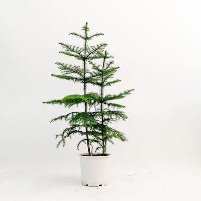 SALON ÇAMI-AROKARYA - (Araucaria Heterophylla)-İthal- 2 Gövdeli 80-100cm