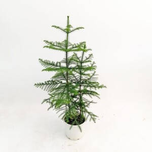 SALON ÇAMI-AROKARYA - (Araucaria Heterophylla)-İthal- 2 Gövdeli 80-100cm - Thumbnail