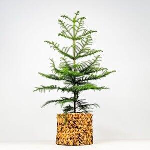 Fidan Burada - SALON ÇAMI-AROKARYA - Rolyn Hasır Saksılı (Araucaria Heterophylla) 120-140 Cm