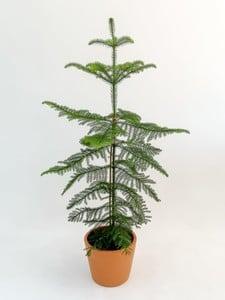 Fidan Burada - SALON ÇAMI-AROKARYA - Hediyeli (Araucaria heterophylla ) 120-140 Cm