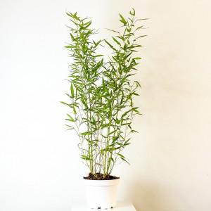 Fidan Burada - Sarı Bambu (Bambusa Aurea) 80-100cm
