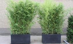Fidan Burada - SARI BAMBU (Bambusa Aurea)