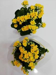 Fidan Burada - Sarı Kalanşo Çiçeği- Orta Boy-Kalanchoe