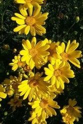 SARI PAPATYA - SARI ÇALI PAPATYASI (Euryops Pectinatus) - Thumbnail