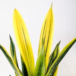 Sarı Paşa Kılıcı - Sansevieria Trif. Gold Flame - Thumbnail