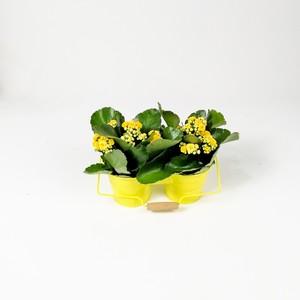 Fidan Burada - Sarı Dekoratif Saksılı Kalanşo Çiçeği