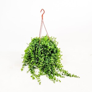 Ücretsiz Kargo - Sarıkız - Lysimachia Nummularia Askılı 40-60 cm