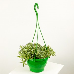 Fidan Burada - Sedum Cerastium Tomentosum Askılı Saksıda Fare Kulağı