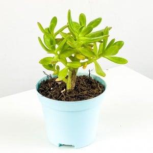 Fidan Burada - Sedum Dendroideum (Tree stonecrop) 10cm