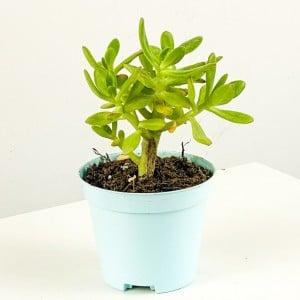 Sedum Dendroideum (Tree stonecrop) 10cm - Thumbnail