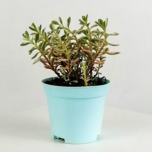 Fidan Burada - Sedum Spurium Tricolor 15cm