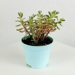 Sedum Spurium Tricolor 15cm - Thumbnail