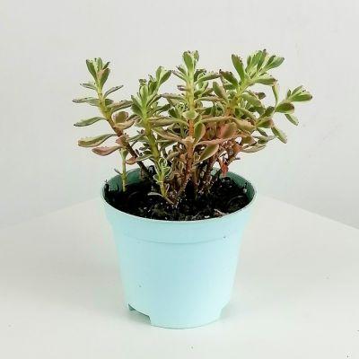 Sedum Spurium Tricolor 15cm