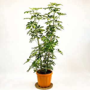 Fidan Burada - Şeflera-Schefflera Arboricola (Gold Capella) 3 Gövdeli 160-180cm