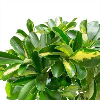 Şeflera-Schefflera arboricola (Gold Capella)2 Dallı - 80-100 cm
