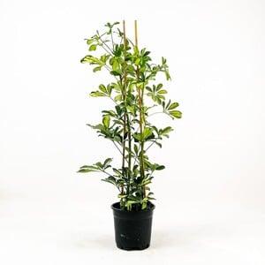 Fidan Burada - Şeflera-Schefflera arboricola (Gold Capella)2 Dallı - 80-100 cm