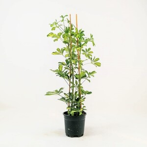 Şeflera-Schefflera arboricola (Gold Capella)2 Dallı - 80-100 cm - Thumbnail
