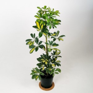 Fidan Burada - Şeflera-Schefflera arboricola (Gold Capella) 80-100cm