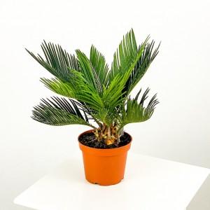 Fidan Burada - SİKAS - Cycas Revoluta -Japon sago palmiyesi 30-40 Cm
