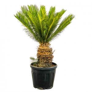 Fidan Burada - SİKAS - Japon sago palmiyesi (Cycas) 120cm+