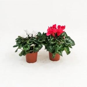 Fidan Burada - Siklamen - Cyclamen 20-30 cm Kırmızı- Beyaz İkili Set