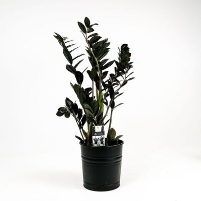 Siyah Zamia Bitkisi-Zamioculcas Raven 60-70 Cm-İthal Bitki