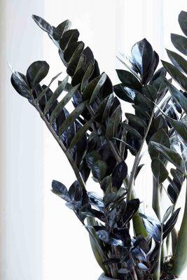 Siyah Zamia Bitkisi-Zamioculcas Raven 50-60 Cm-İthal Bitki