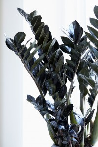 Fidan Burada - Siyah Zamia Bitkisi-Zamioculcas Raven 80-90 cm-İthal Bitki