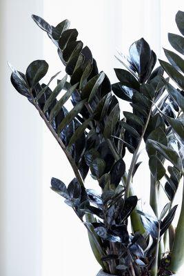 Siyah Zamia Bitkisi-Zamioculcas Raven 80-90 cm-İthal Bitki