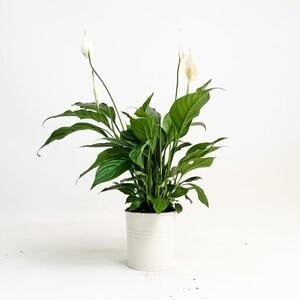 Fidan Burada - Barış Çiçeği-Spathiphyllum - Beyaz Saksılı 40-50 Cm