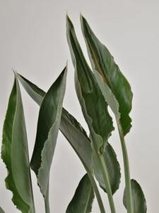 Starliçe Reginae - Cennet Kuşu (Strelitzia Reginae) 90-100 - Thumbnail