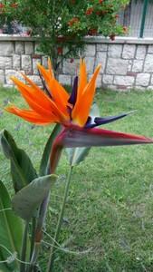 Starliçe Reginae - Cennet Kuşu - 2 Köklü 60-80cm (Strelitzia Reginae) - Thumbnail