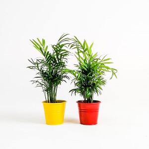 Taraftar Seti - İkili Dağ Palmiyesi - Chamaedorea Elegans 30-35 Cm - Thumbnail