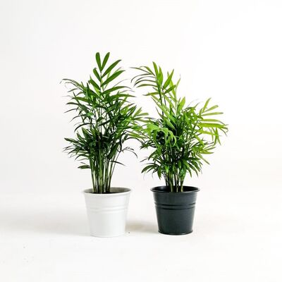 Taraftar Seti - İkili Dağ Palmiyesi - Chamaedorea Elegans 30-35 Cm