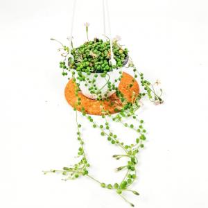 Fidan Burada - Tespih Çiçeği- Senecio Rowleyanus -İthal- Askılı saksıda