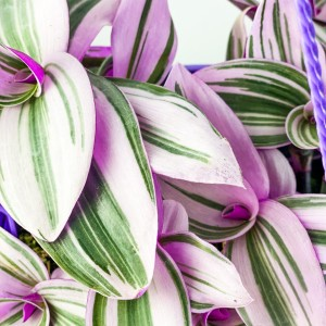 Tradescantia Nanouk - Telgraf Çiçeği Askılı Saksıda - Thumbnail