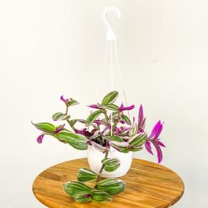 Fidan Burada - Tradescantia Nanouk - Telgraf Çiçeği Askılı Saksıda