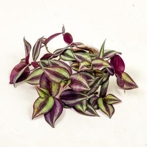 Fidan Burada - Tradescantia Zebrina Silver Plus Telgraf Çiçeği